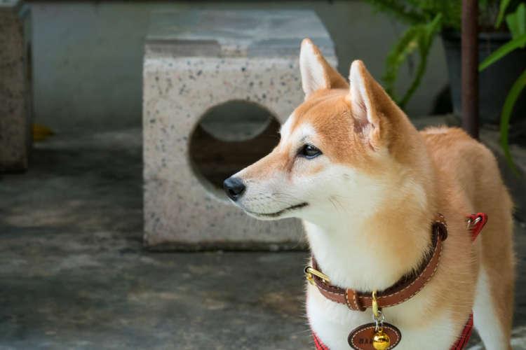 柴犬に合う首輪。首輪の役割と柴犬に似合う首輪を紹介します