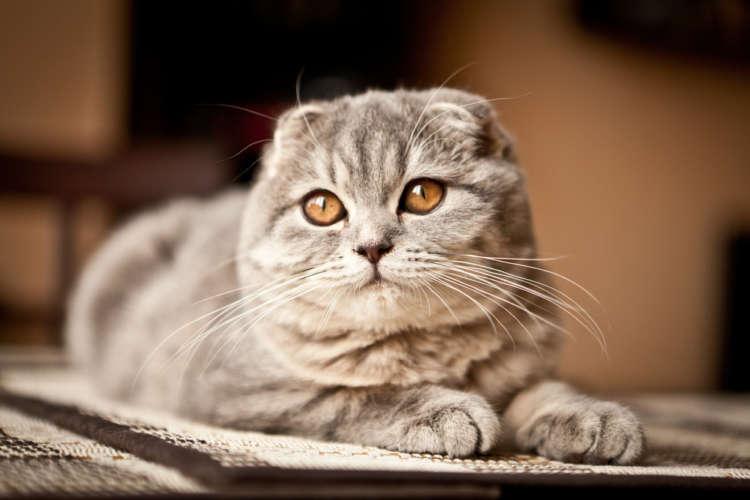 スコティッシュフォールドってどんな猫? 歴史やカラダの特徴について