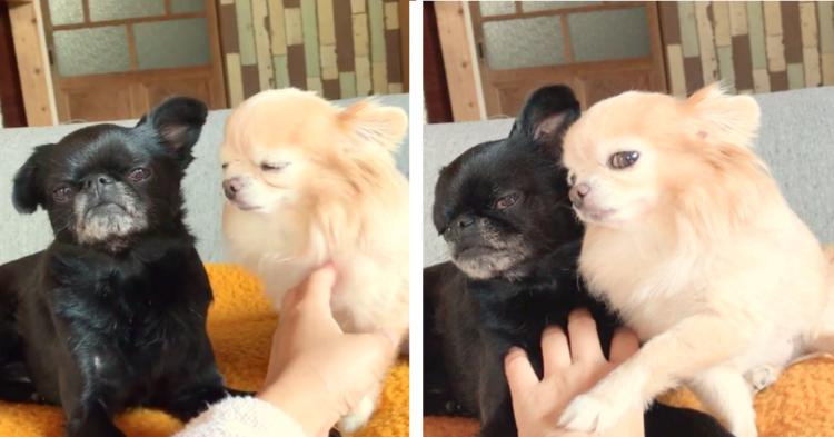 【私を撫でて♡】ママのナデナデを取り合う2匹のワンコ。コロコロ変わる表情をご覧ください♪(47秒)
