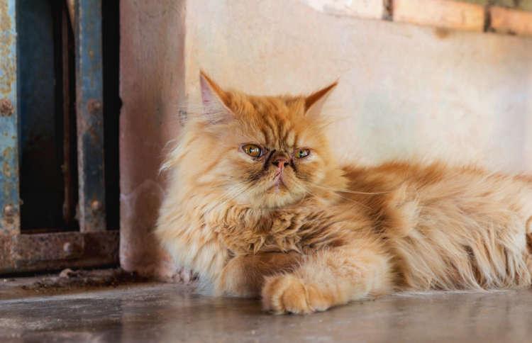 ペルシャの特徴や性格、飼い方について