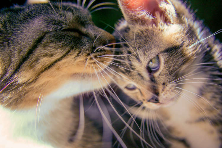 【獣医師監修】猫の去勢手術 時期や方法、費用、術後のケアについて