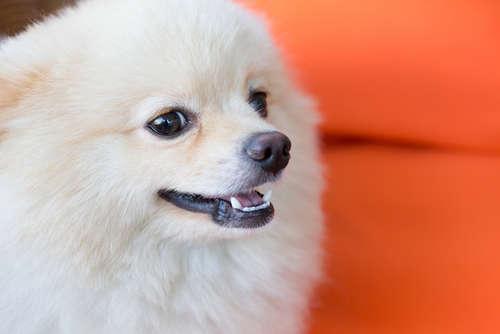 【獣医師監修】犬の歯のトラブル 症状や考えられる原因、治療法と予防法