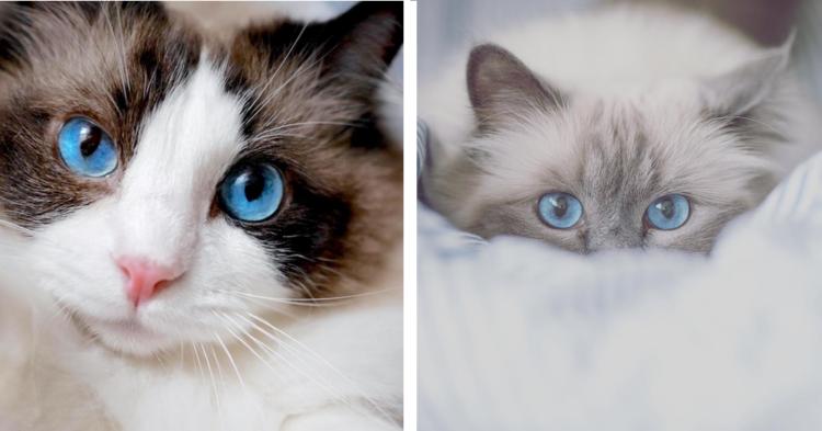 【目の中に海原が…♡】青く澄んだ瞳を持つ、ニャンコたちに見惚れる写真集(7枚)