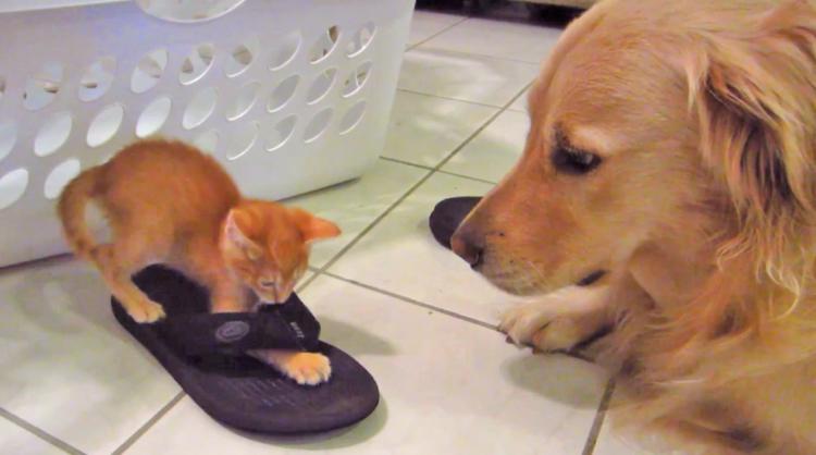 スリッパ遊びに夢中な保護子猫を、ジッと見守るワンコ。お母さんのような優しい眼差しに…ほっこり♡