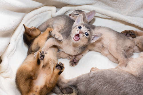 【獣医師監修】仔猫の成長が遅い。そんな時に考えられる病気について