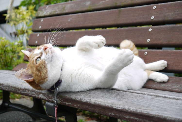 リードでお散歩する看板猫ユメちゃん【西品川】