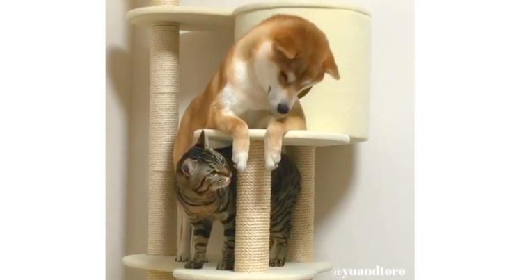 """【ネコに憧れて♪】キャットタワーに入居した柴犬。2匹のドキドキ """"共同生活"""" に、思わず笑いが…♡"""
