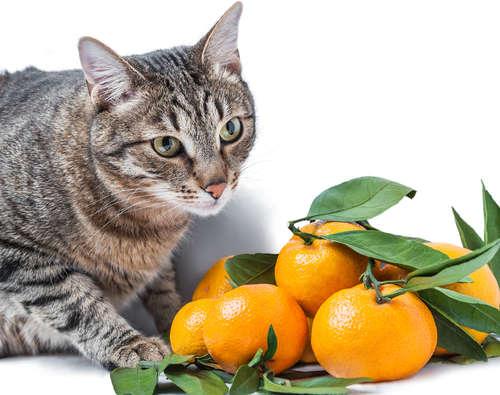 猫にみかんを与えていい? 猫は柑橘系のニオイが苦手