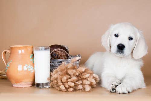 犬に豆乳を与えていい? 豆乳のメリットや注意点