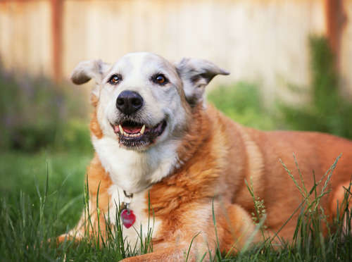 高齢犬に起きる突然のふらつき。前庭神経炎の予防法や治療法