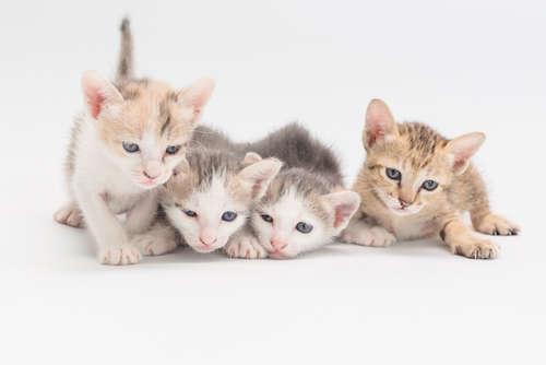 仔猫の性別の見分け方と、性別による性格の違いについて