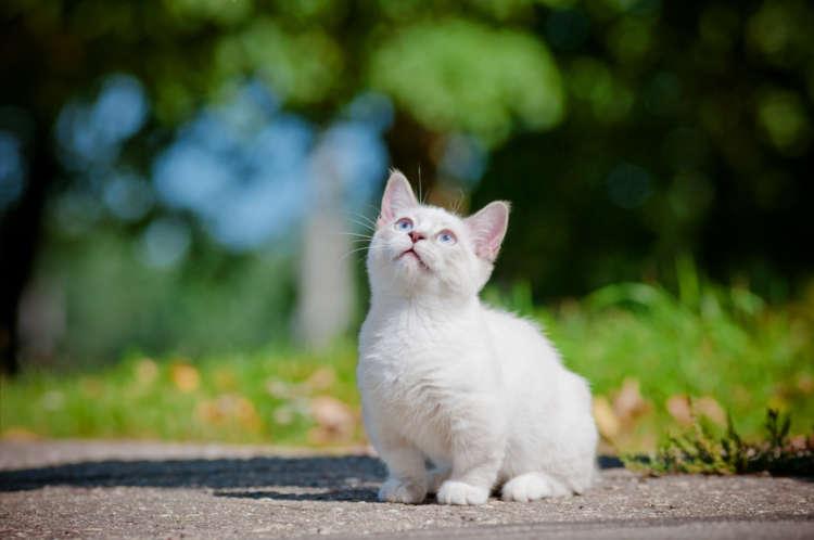 マンチカンってどんな猫? 歴史やカラダの特徴について