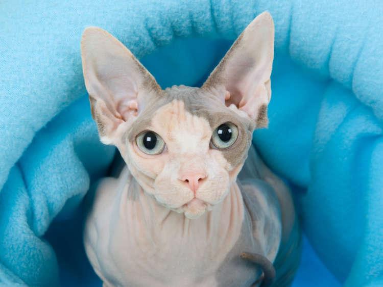 スフィンクスってどんな猫? 歴史やカラダの特徴について