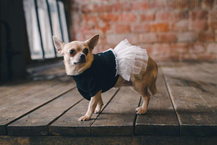 チワワにおすすめの服を紹介。犬の服にはおしゃれ以外のメリットも!