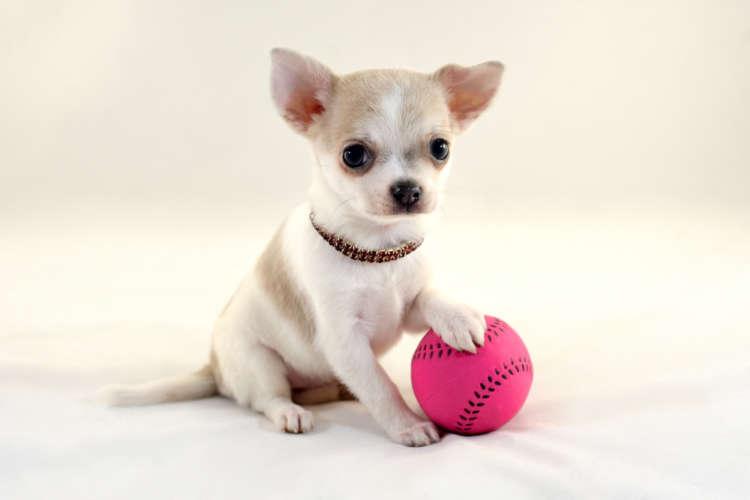 チワワの仔犬の里親を探す方法と、里親になる方法