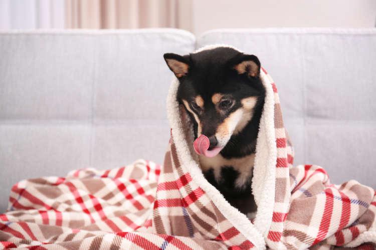 柴犬のシャンプーの方法や手順、注意すべきポイントについて