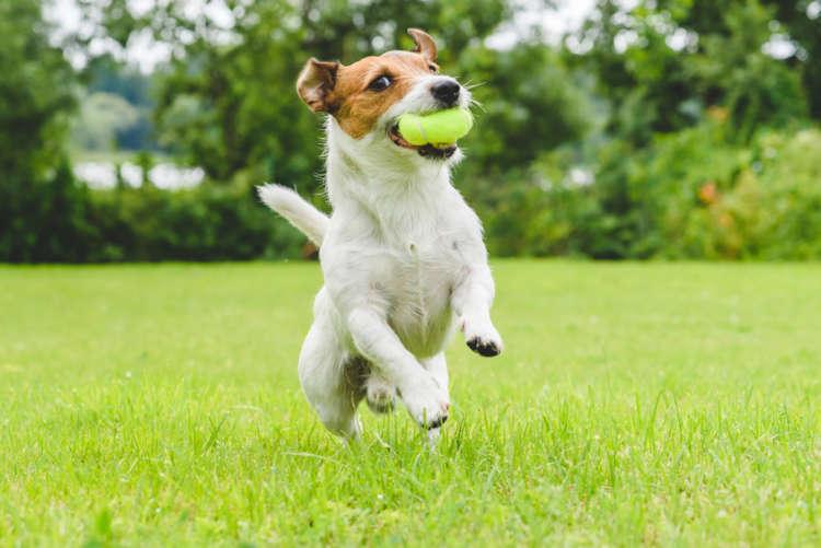 未去勢のオスは要注意。犬の睾丸に起きる病気、精巣腫瘍の症状と原因