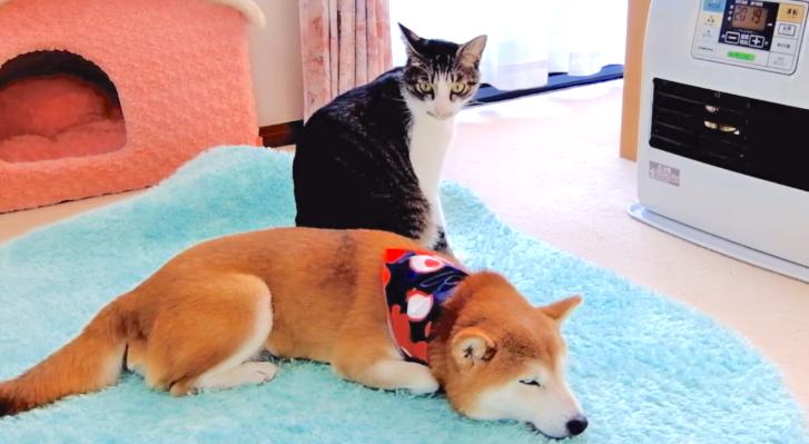 柴犬と一緒にヒーターで暖を取るネコ → 『ママが寒そうニャ』とっても優しい行動にでる(*´ω`*)♡