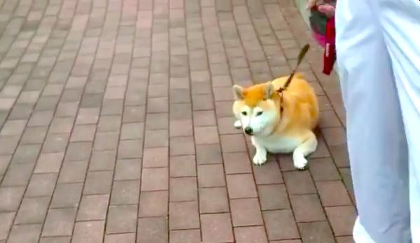 散歩道にある「橋」が怖い柴犬さん…。必死の散歩拒否するも、ある対策でノリノリになってしまう♡