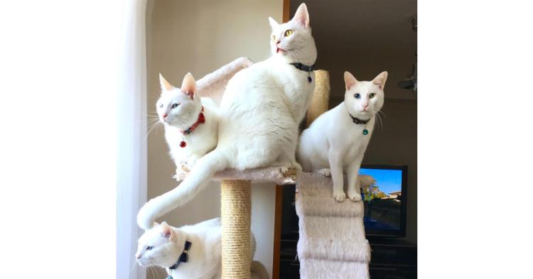 【美しすぎる♡】並んだだけでも絵になる、4匹の白猫たち。その日常に心奪われる11枚(*´艸`*)