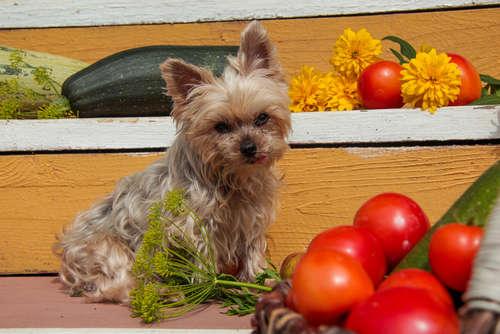 犬にトマトを与えても大丈夫? トマトのメリットや注意点