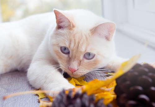 「猫はスルメを食べると腰が抜ける」その言葉の真意とは?