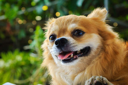 【獣医師監修】チワワの歯について。乳歯遺残に要注意!