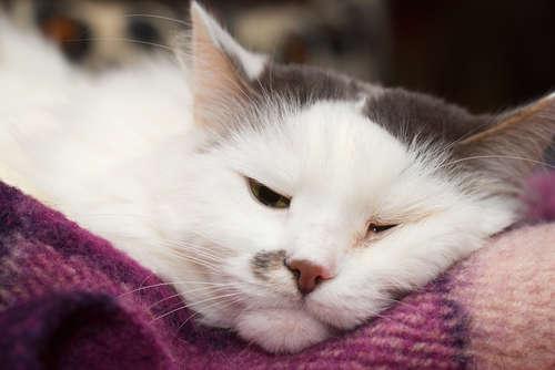 猫白血病ウイルス感染症 考えられる原因や症状、治療法と予防法