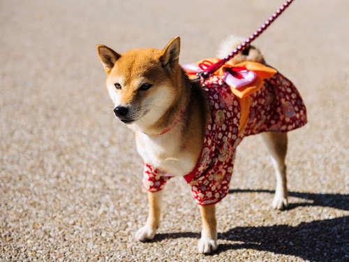 【獣医師監修】柴犬の室内飼い。ケージの必要性について