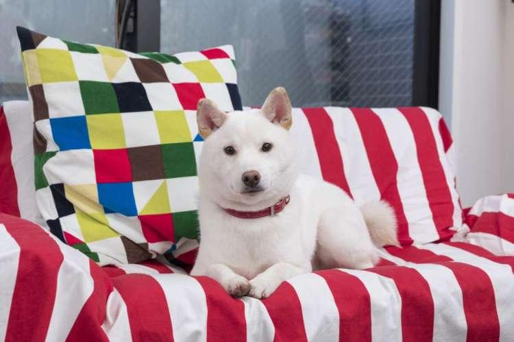 カラフルな家具と一緒に。撮影時、ヴァイスはまだ生後8ヶ月。子犬っぽいところがぬけていない感じで、見るもの聞くもの何でも興味津々な様子だった。