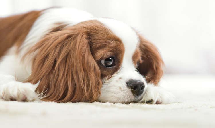 【獣医師監修】犬の膣炎 考えられる原因や症状、治療法と予防法