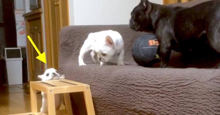 ソファーの上のママに会うために…! 一生懸命に頑張る子犬ちゃんを、応援せずにはいられない♡