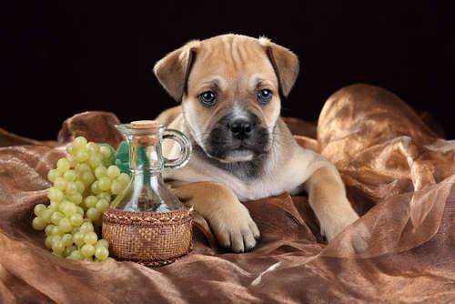 犬にはレーズン・ぶどうを与えてはいけません!