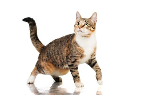 【獣医師監修】猫の捻挫 考えられる原因や症状、治療法と予防法
