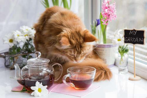 【獣医師監修】猫に麦茶を与えていい? 麦茶のメリットや注意点