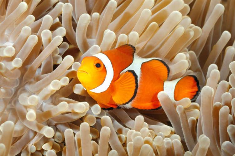 初心者向けの海水魚! カクレクマノミの上手な飼育方法について