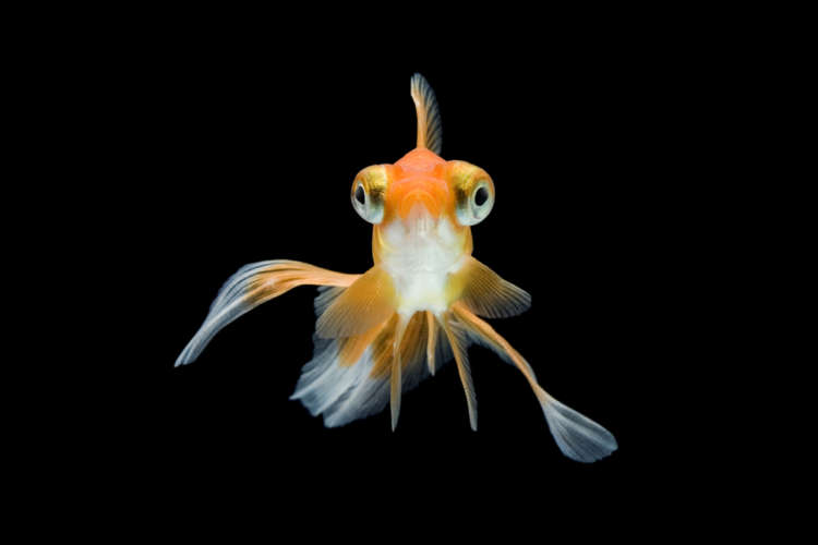 金魚のポップアイ 考えられる原因や症状、治療法と予防法