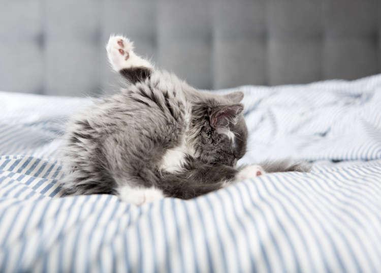 猫の肛門嚢疾患 考えられる原因や症状、治療法と予防法