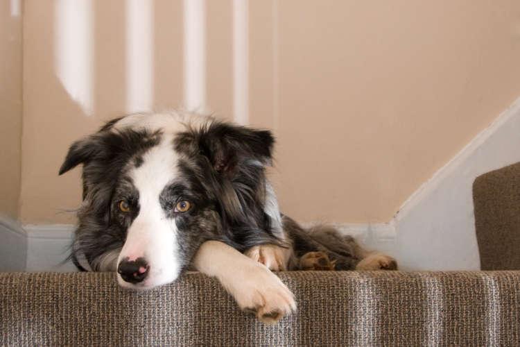犬にとって、階段の上り下りは負担になる。その理由について