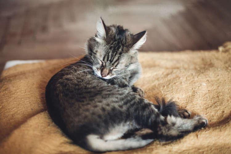 猫の円形脱毛? 皮膚糸状菌症の原因や症状、治療法と予防法
