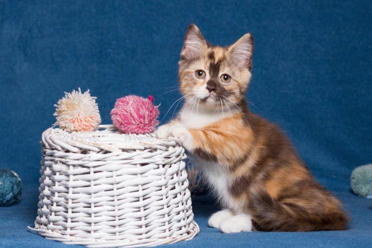 短足猫、マンチカンの里親になるには? 里親募集の探し方と注意点