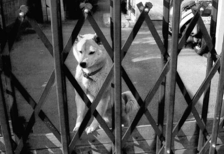 門越しに通行人に睨みをきかせるのも番犬としての大切な仕事。