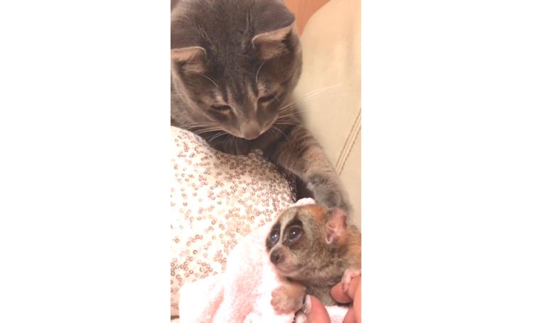 【縮まる距離♡】お互いのことが気になる猫とスローロリス。2匹の『急接近』を見守りました(*´艸`*)
