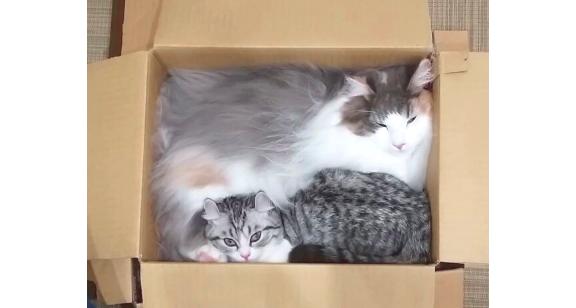 【お姉ちゃんと一緒がいい♪】姉が入る箱に無理やり入った妹猫。その表情を覗いてみたら…(*´艸`*)