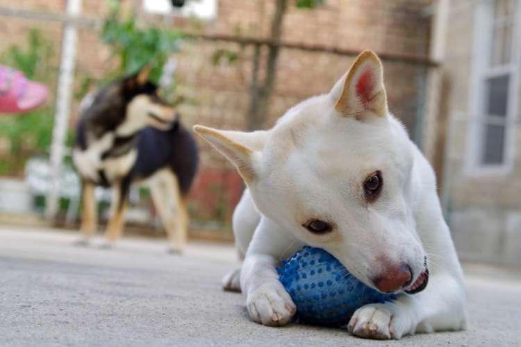 柴犬が大喜びで遊んでくれる! 柴犬におすすめのおもちゃを紹介