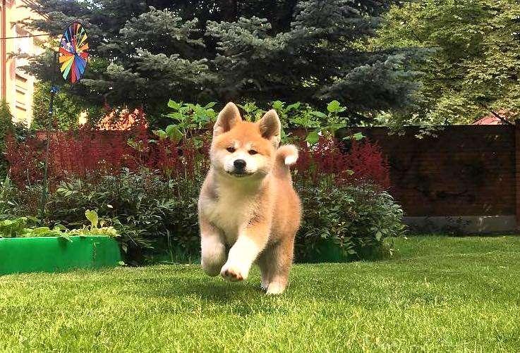 【ぎっしりモフモフ】まん丸フォルムにニコニコ笑顔! 思わず抱きしめたくなる、秋田犬の子犬ちゃん♪