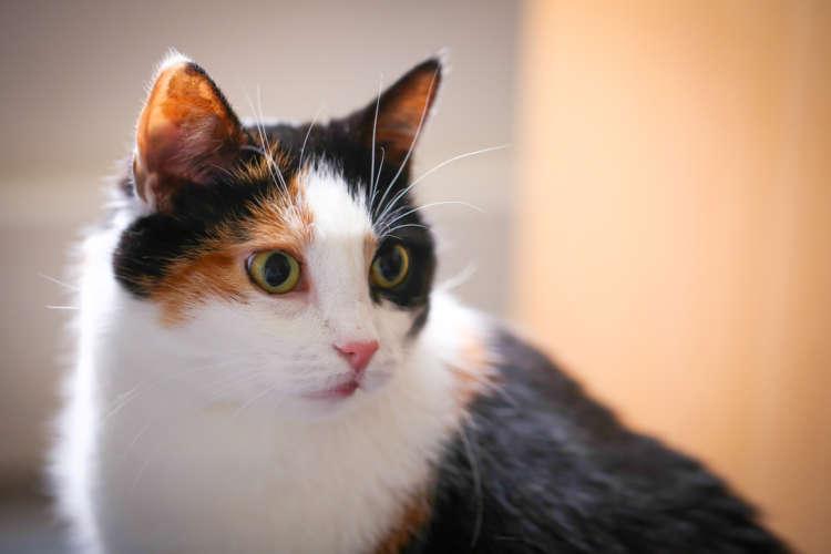 三毛猫と暮らしたい。ペットショップで三毛猫には出会える?