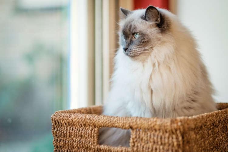 抱っこが大好きな猫、ラグドールの里親になるには