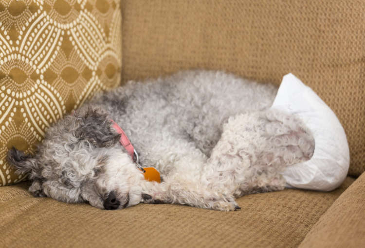 犬がオムツを使うタイミングと注意点