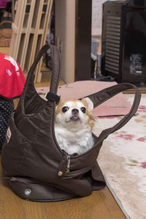 自由に出かけられる人間に嫉妬? 飼い主さんが外出の準備をはじめたら、お出かけ用バッグにちょこんと入って、連れて行ってアピール。「人間っていいな」